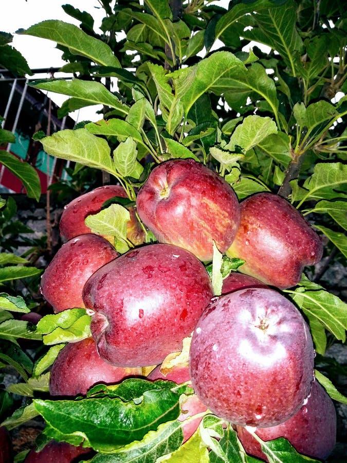 Сладкие яблоки стоковое изображение