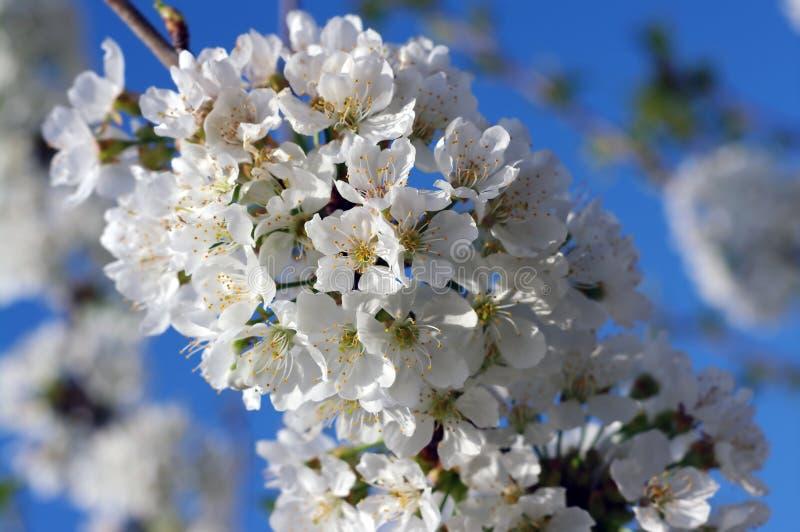 Сладостные вишневые цвета стоковые фото