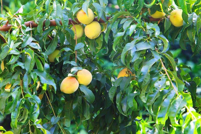 Сладостные растущие плодоовощей персика на персиковом дереве разветвляют стоковое изображение