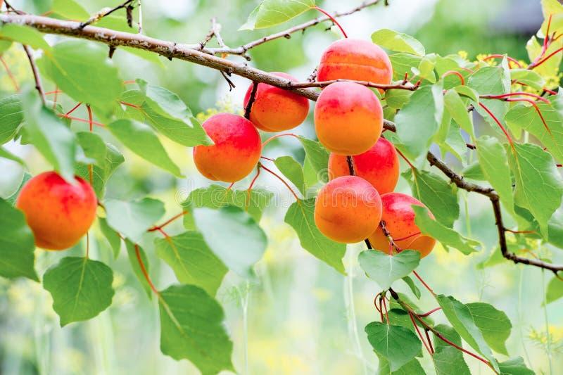 Сладостные растущие плодоовощей персика на персиковом дереве разветвляют стоковые изображения rf