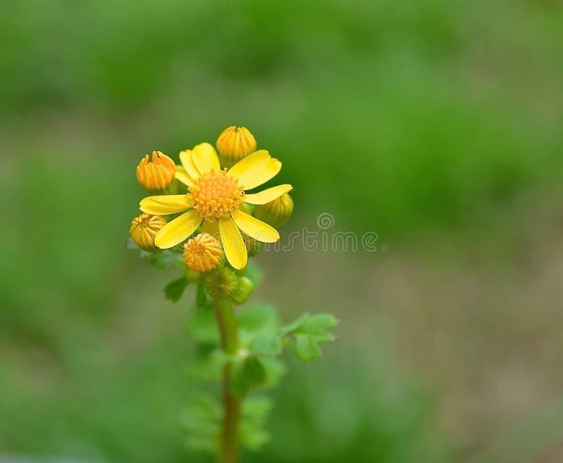 Сладостный желтый цветок в траве - крупный план засорителя стоковая фотография