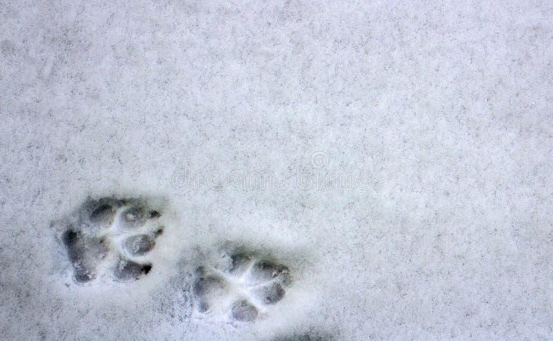 2 следа ноги собаки в снеге стоковые изображения rf
