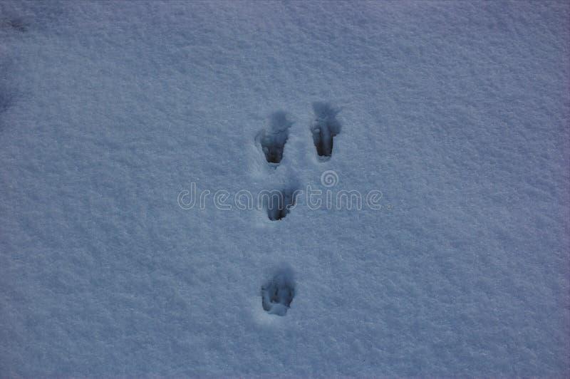 Следы животных в снегу стоковая фотография