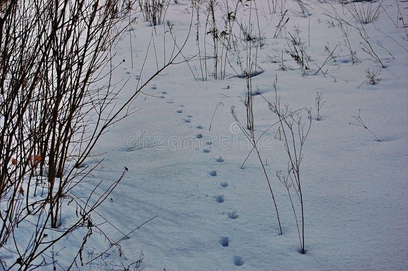 Следы животных в снегу стоковое изображение rf