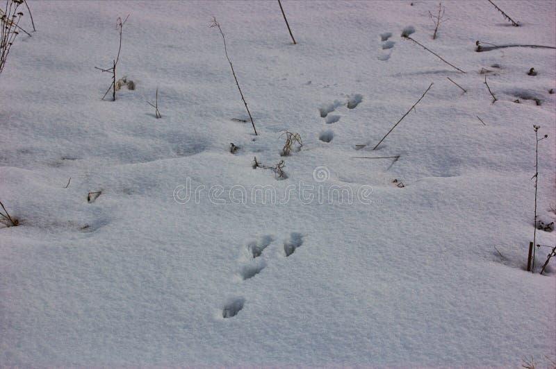 Следы животных в снегу стоковая фотография rf