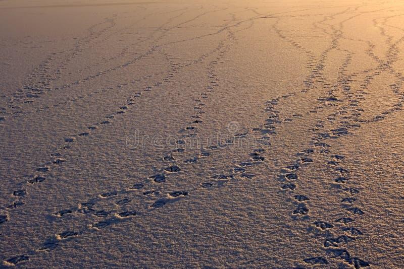 следы ноги птицы стоковое фото