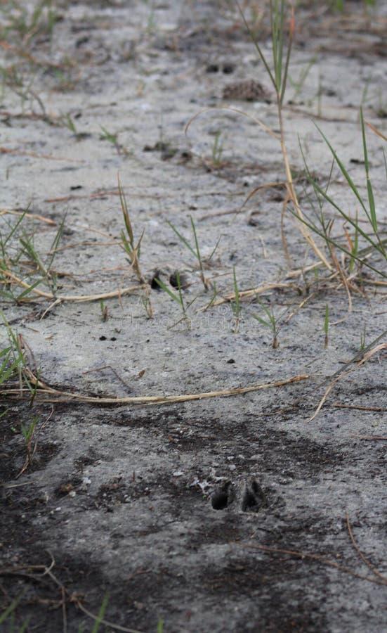 Следы оленя в песке стоковое фото rf