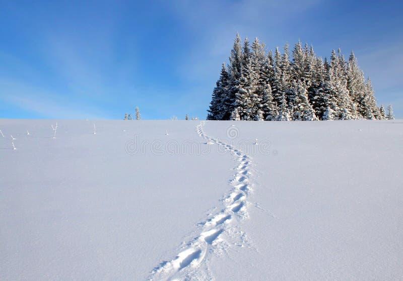 Следы Lynx в снежке Стоковые Фотографии RF