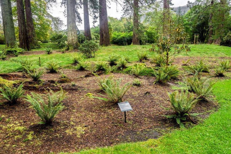 След папоротников и Fernery на саде Benmore ботаническом, Шотландии стоковое изображение rf