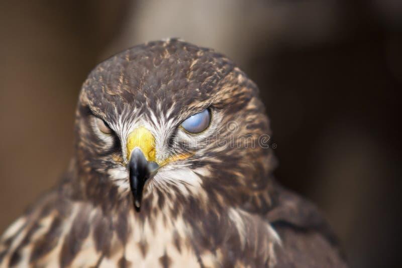 слепой buzzard стоковое фото