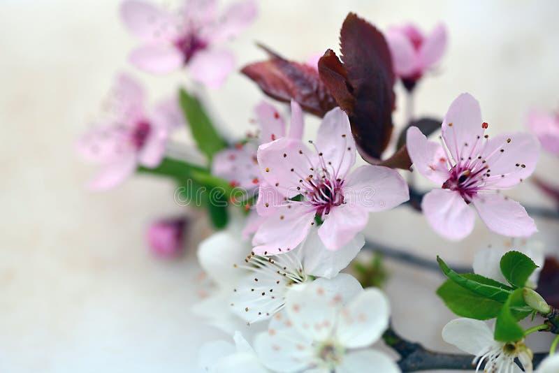 Слива цветет раскрывающ весной время стоковая фотография