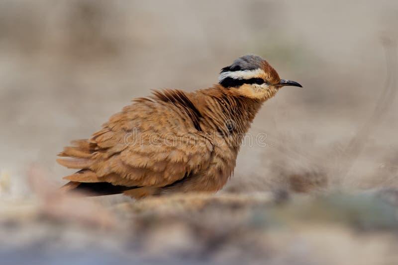 Сливочного цвета курсор Cursorius Courser в пустыне песка стоковое фото rf
