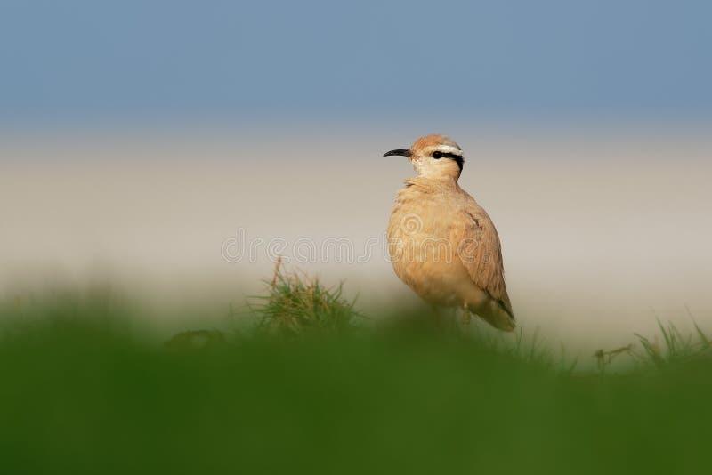 Сливочного цвета Courser ( Cursorius cursor) в пустыне песка стоковая фотография rf