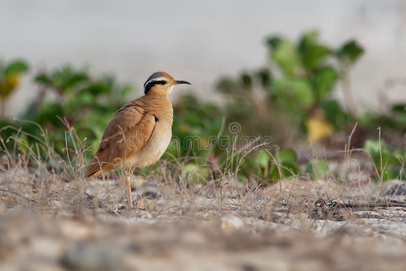 Сливочного цвета Courser ( Cursorius cursor) в пустыне песка стоковые фото