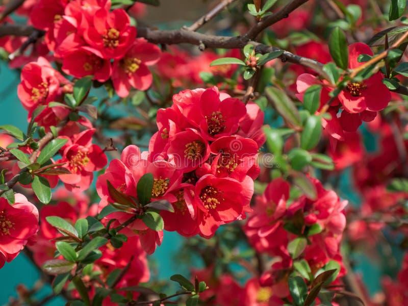 Слив-цветение Сержанта Makamik яблони декоративное зацветает розовый сад цветков большой стоковая фотография rf