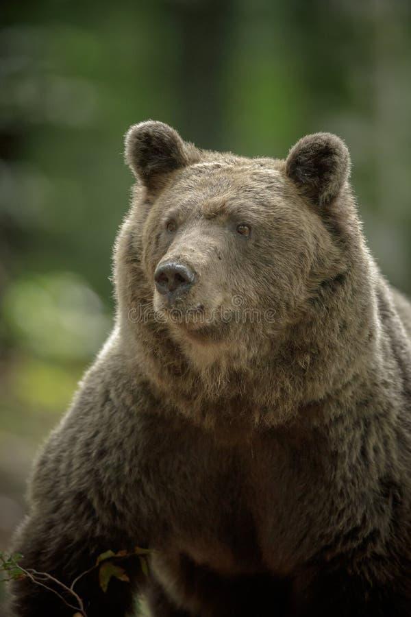 Словенский коричневый медведь на грани стоковая фотография