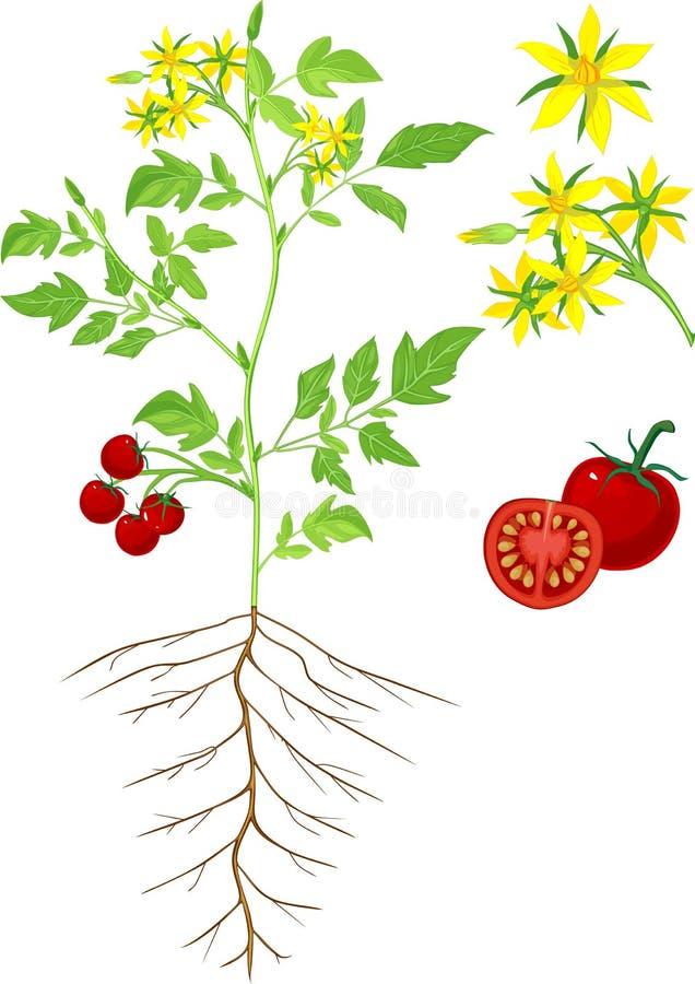 картинка корень помидора теле татарча