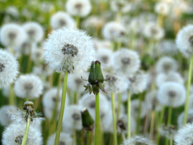Слойки Taraxacum одуванчика белые в поле : стоковая фотография