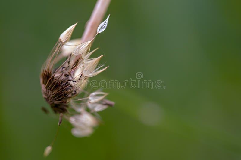 Сломленная голова семени одуванчика стержня стоковые изображения rf