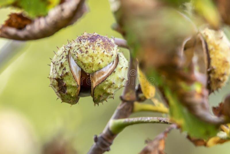 Сломленный каштан конский висит на ветви дерева перед запачканной предпосылкой стоковые изображения