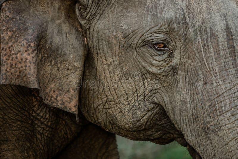 Слоны в национальном парке от Шри-Ланки стоковое изображение