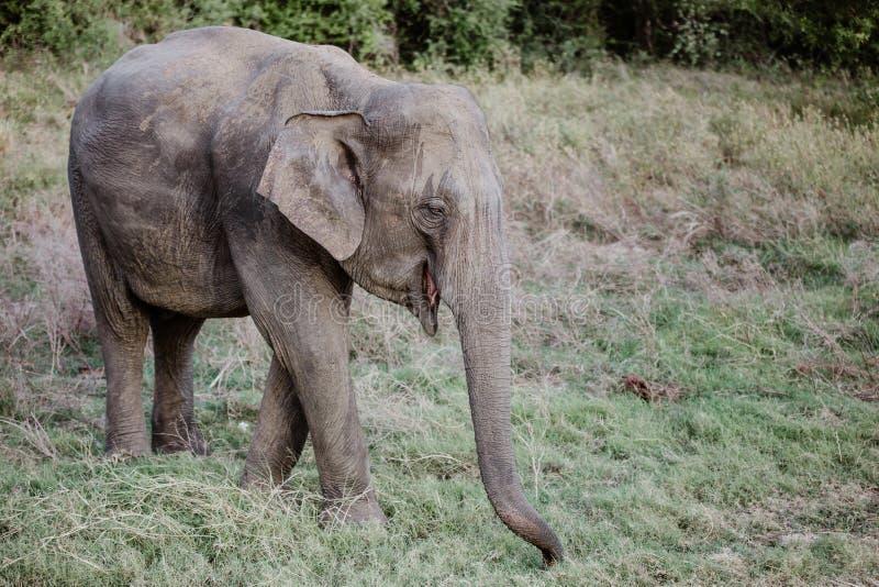 Слоны в национальном парке от Шри-Ланки стоковые изображения