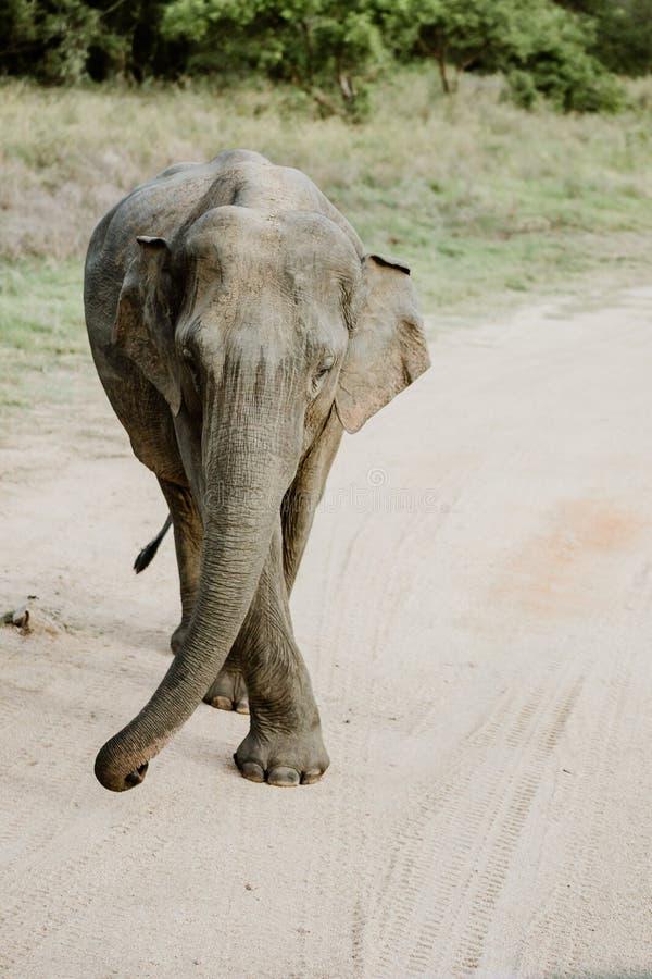 Слоны в национальном парке от Шри-Ланки стоковые изображения rf