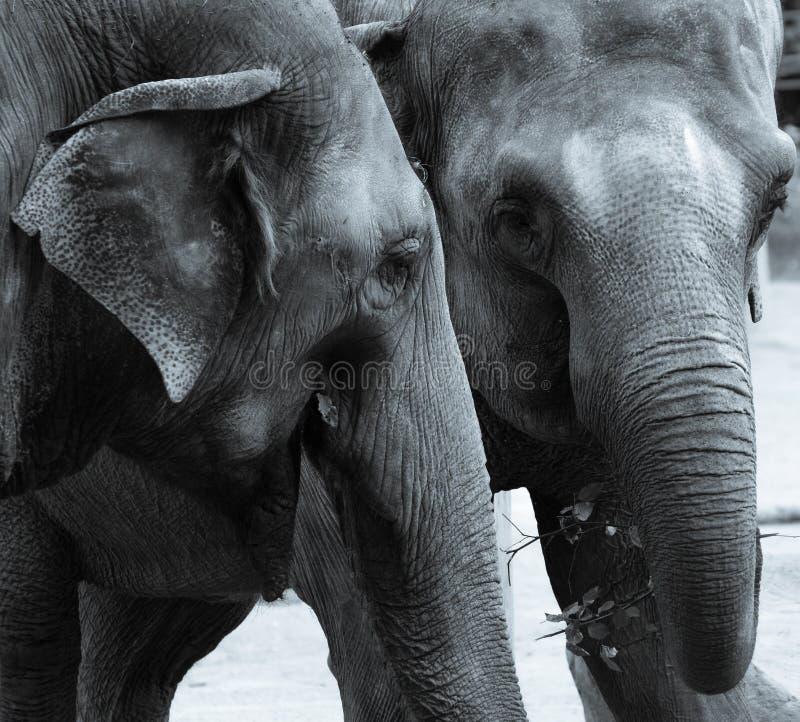 Слоны есть monochrome стоковая фотография rf