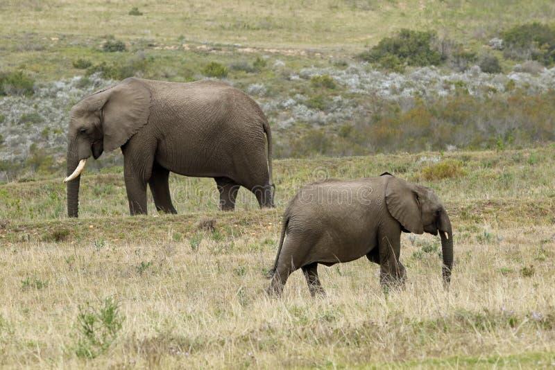 Слоны на запасе Boteilierskop стоковые фотографии rf