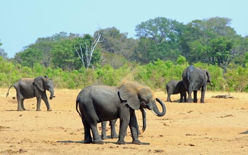 Слоны пробуя держать крутой в жаре полдня путем пылиться стоковые фотографии rf