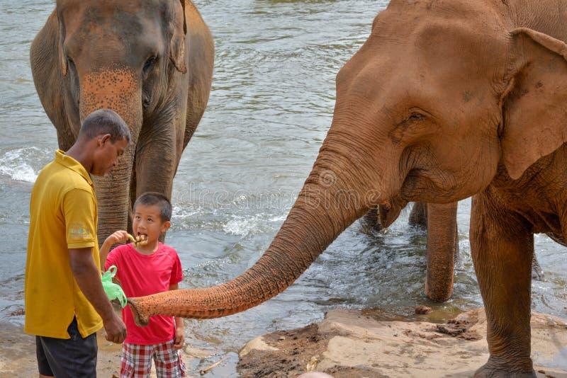 Слоны Tamer и ребенка питаясь стоковое фото rf