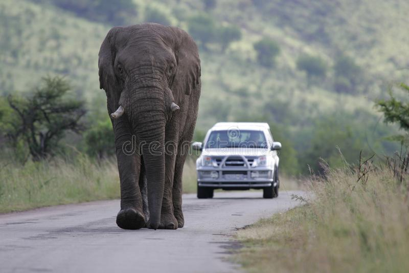 слон Африки африканский южный стоковые изображения rf