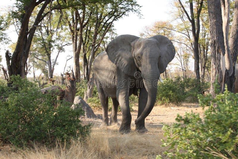 Слон в bush. стоковое фото