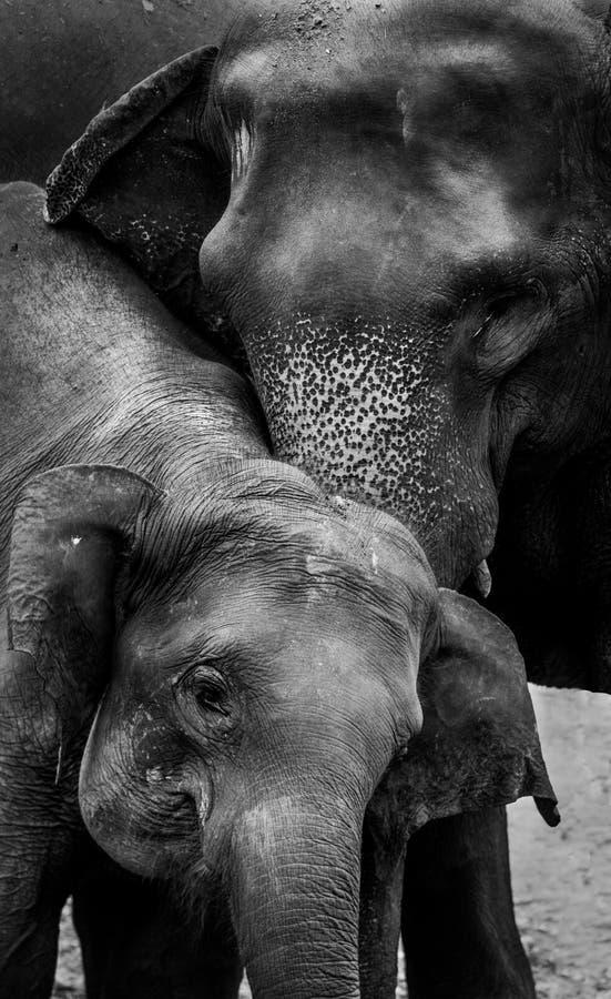 Слон и его мать стоковые фото