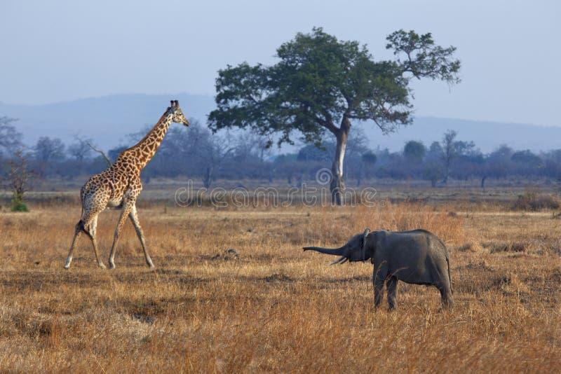 Слон и giraffe стоковые фото