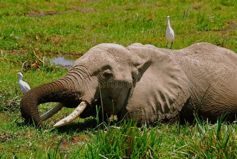 слон Кения птиц стоковая фотография