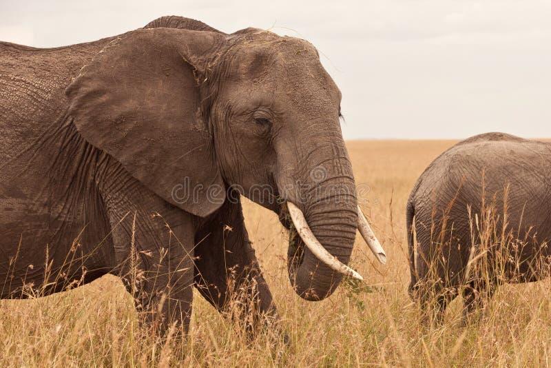 слон Кения стоковое изображение