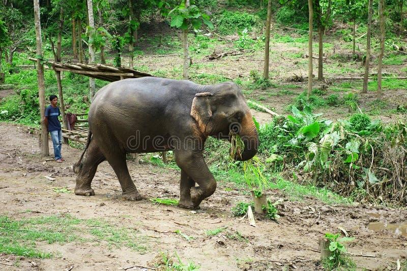 слон леса работая идя домой после длинного дня вытягивать журналы от джунглей стоковая фотография