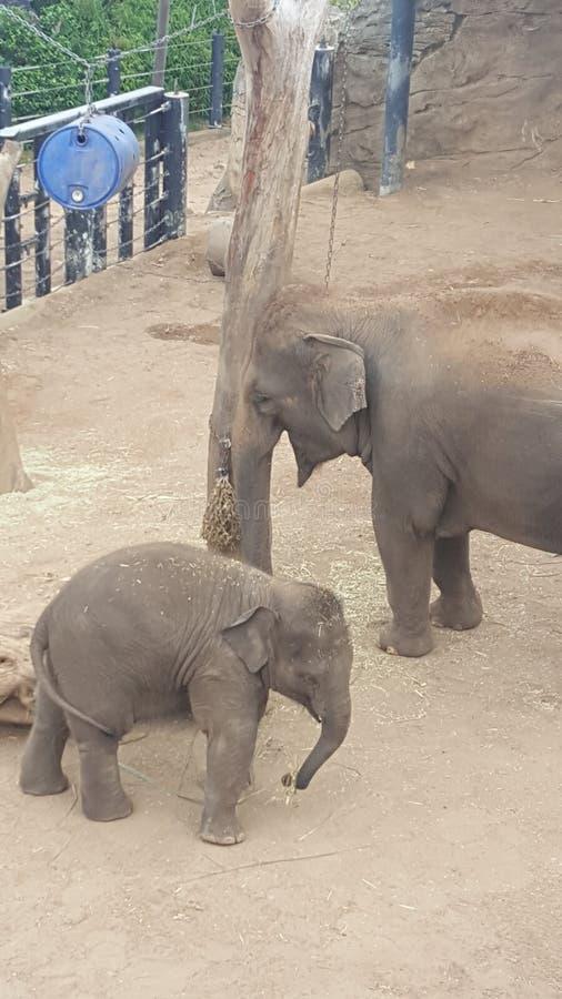 Слон матери и младенца будучи питать на зоопарке парка Toronga в Mosman NSW, Австралии стоковое фото
