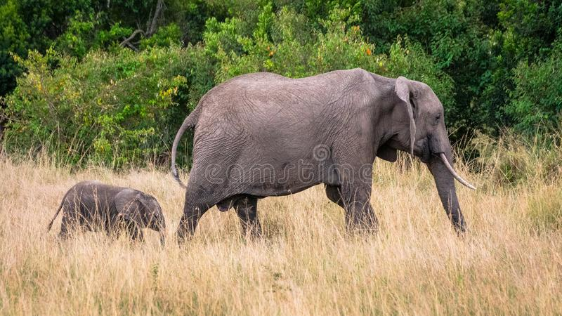 Слон матери и младенца в африканской саванне, на Masai Mara, Kenia стоковое фото rf