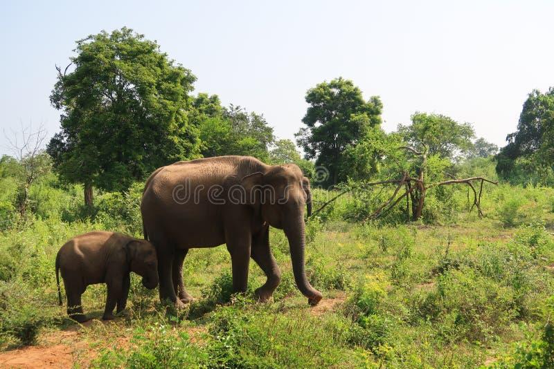 Слон матери и младенца в национальном парке udawalawe, Шри-Ланка стоковое фото