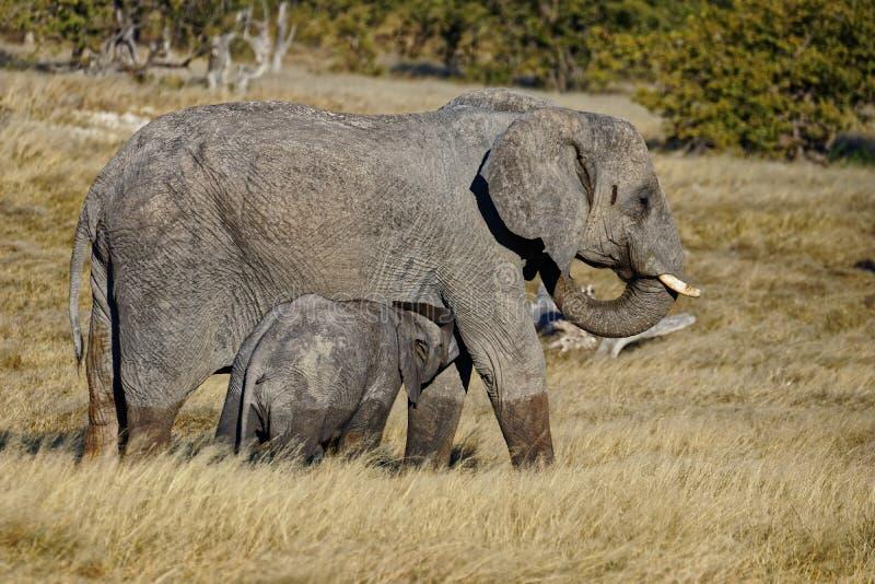 Слон матери suckling ее детеныши стоковые фото