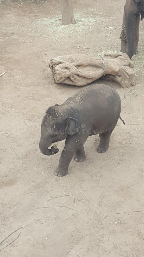 Слон, младенец на зоопарке парка Toronga, Mosman, NSW, Австралии стоковые фото