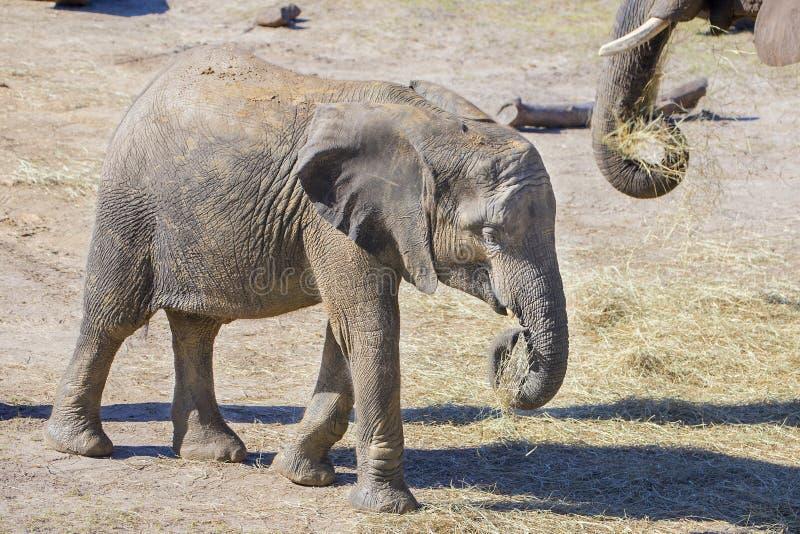 Слон младенца есть сено стоковые фотографии rf