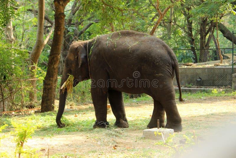 Слон младенца есть траву стоковое фото rf