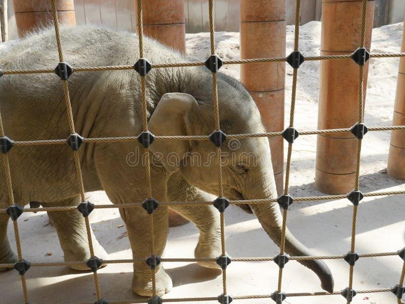 Слон младенца за загородкой веревочки стоковое изображение