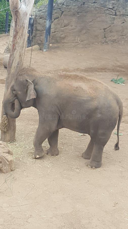 Слон младенца на зоопарке парка Toronga на Mosman NSW Австралии стоковые изображения rf