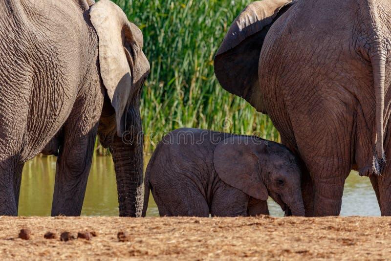 Слон младенца стоя между другими стоковые изображения rf