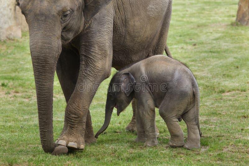 Слон младенца с его матью стоковые изображения