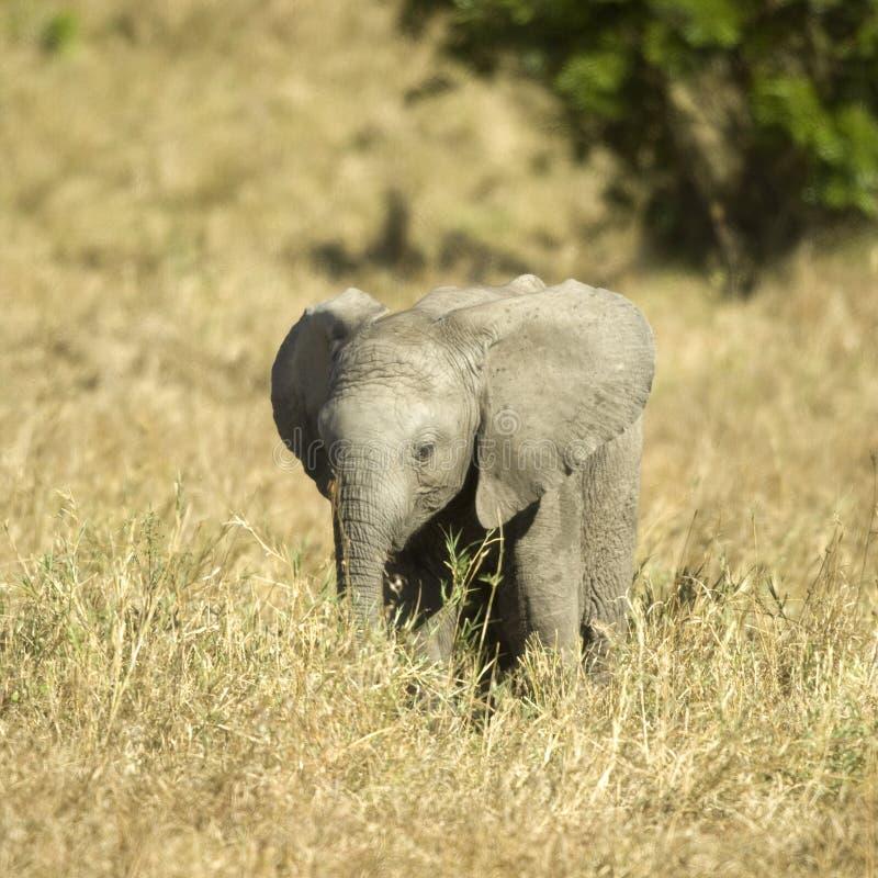 слон младенца Стоковое Изображение